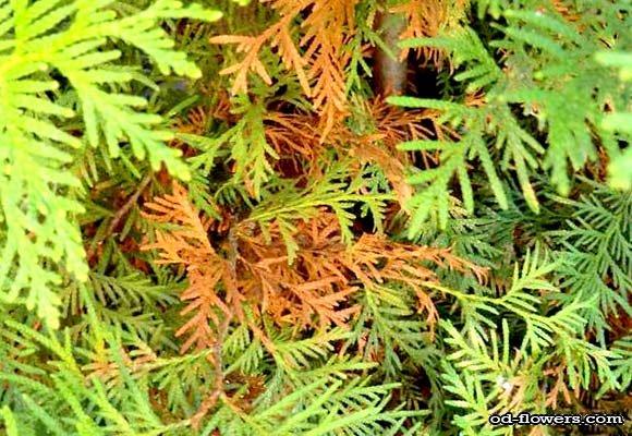 Болезни у хвойных растений