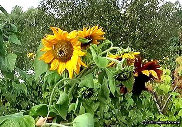 Цветок домашнего подсолнуха - условия выращивания