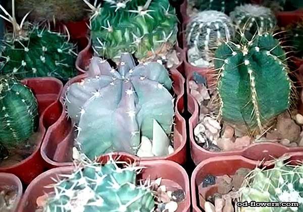 факты о комнатных кактусах фото