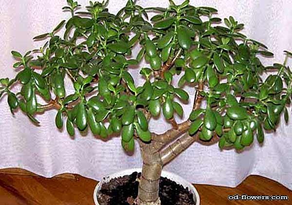 Комнатное растение дерево жизни фото